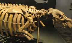 Steller's Sea Cow Skeleton