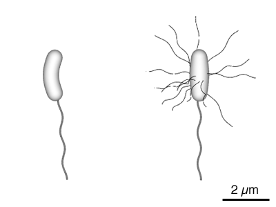 Diagram of Bacteria with their Flagellum tails