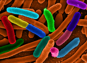 eColi image: Wiki Commons