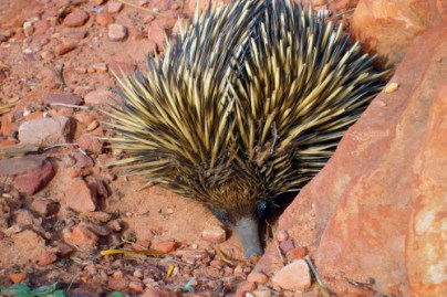 Shortbeaked Echidna in dirt, photo credit: Brian W. Schaller