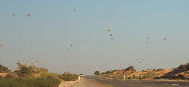 Desert Locust Swarm, WikiCommons