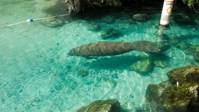 Manatee swimming near guard rope