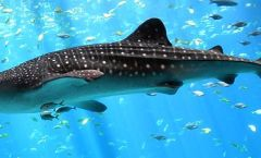 Whale Shark, WikiCommons