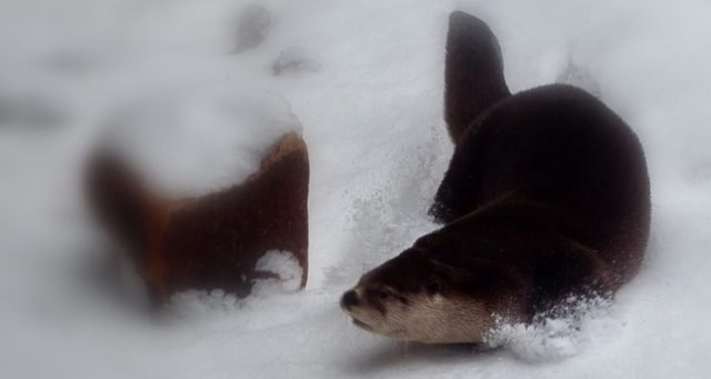 Otter playing in the snow: Forestwander.com