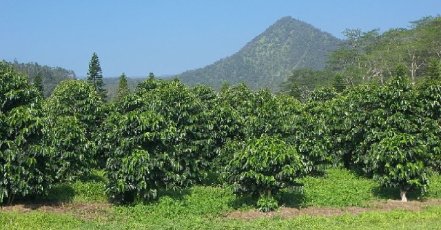 Coffee Grove Hawaii