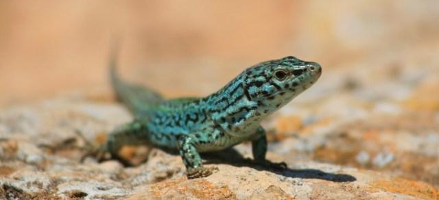 cs4k-green-lizard