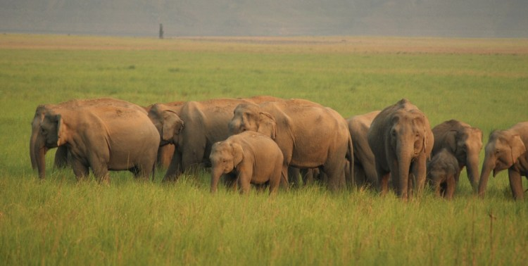 Indian elephant herd, Photo Credit: Curiouslog