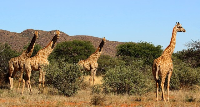 Giraffes on grassland, Photo credit: Charlesjsharp