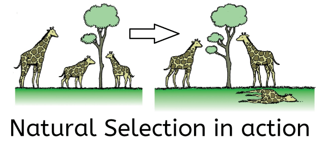 Natural Selection Example Giraffe