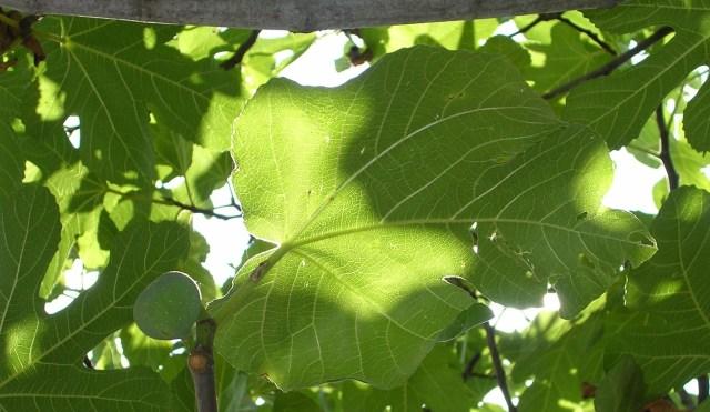Fig leaves, photo credit: Lokal_Profil