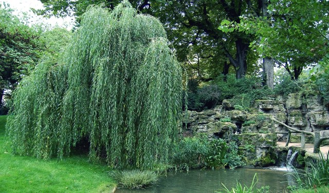 Weeping Willow by a Pool