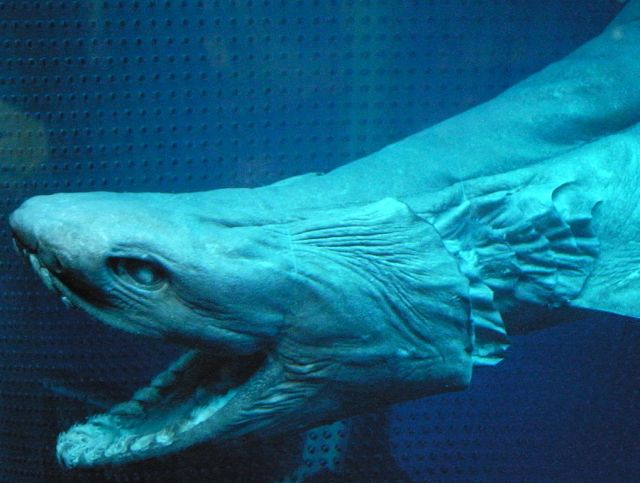 Preserved Frilled Shark with open mouth, photo credit: OpenCage