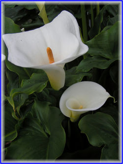 Calla lily  CreationWiki the encyclopedia of creation science