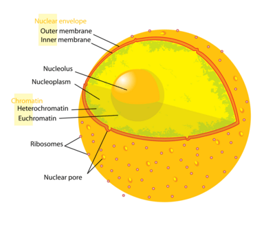 eukaryotic endomembrane system cell diagram three prong massager nucleus - creationwiki, the encyclopedia of creation science