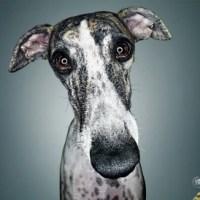 Perdigão Boneless Turkey: Sad Lhaza Apso, Sad Whippet, Sad Pug