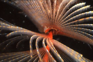 "Photo of a colony of the introduced marine pest species Sabella Spallanzanii, the ""fan worm""."