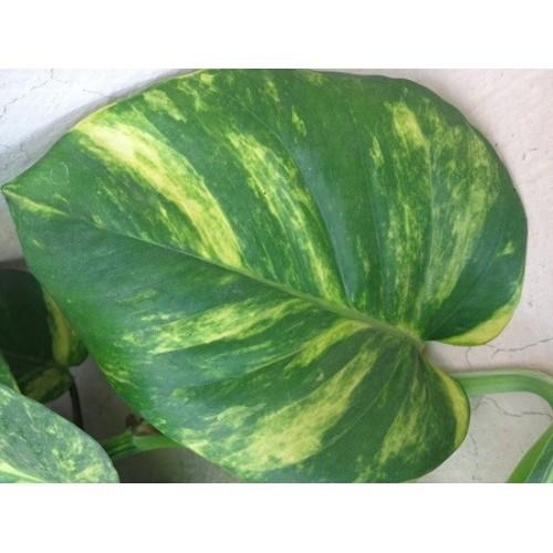 Money Plant (Green)-1-500x500