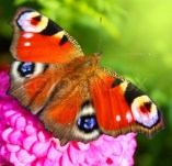 3228504-the-beautiful-butterfly-which-sits-on-pink-flower