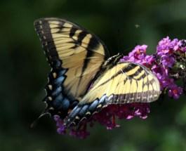 africanswallowtailbutterfly