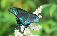 beautiful-blue-butterfly