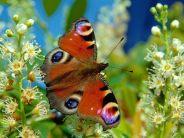 Butterfly-desktop-wallpaper