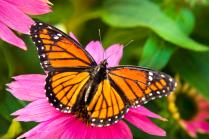 colorful-butterflies-orange-viceroy-butterfly-christina-rollo