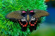 The most beautiful butterfly in the world