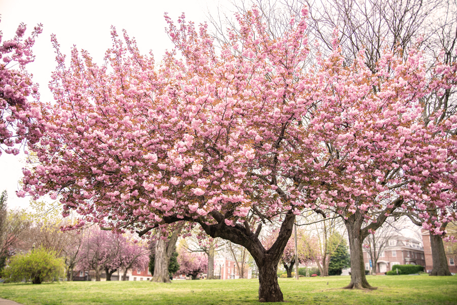 Cherry tree in full bloom Tilton Park