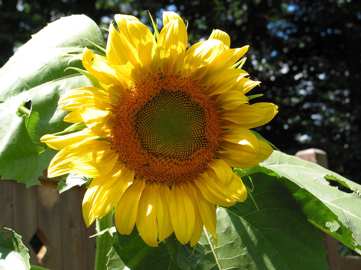 The Lifecycle Of A Sunflower