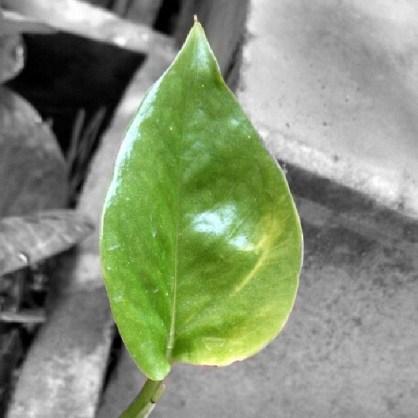 fresh leaf spring