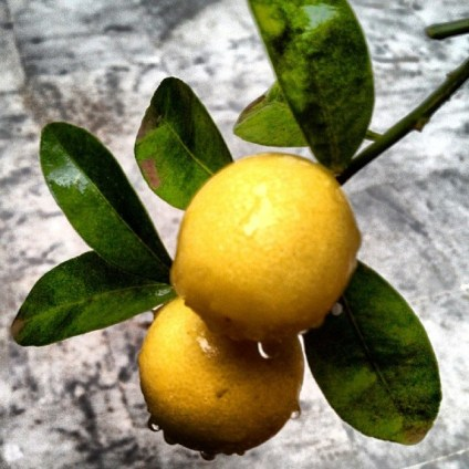 lemons spring