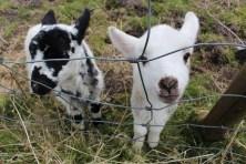 wee pet lamb 2