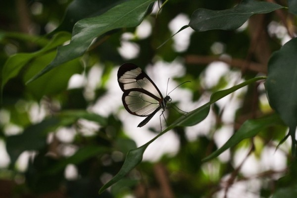 glasswingbutterfly14
