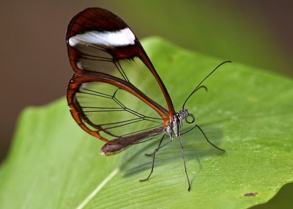glasswingbutterfly6