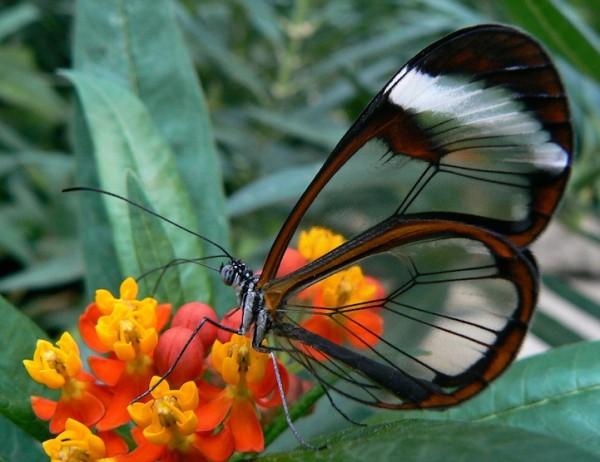 glasswingbutterfly7