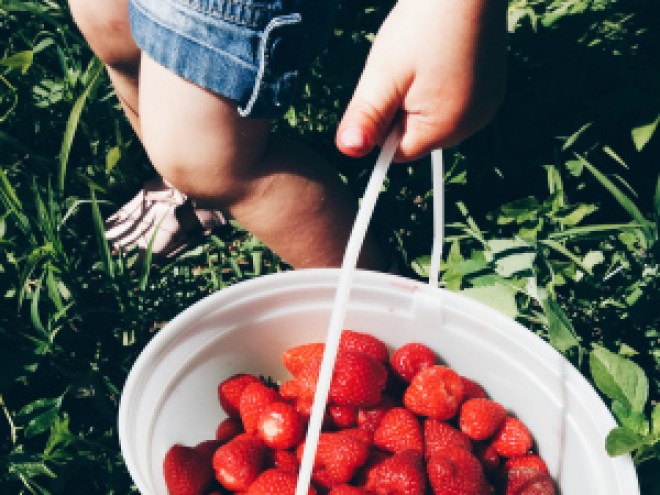 Strawberry picking in the fraser valley