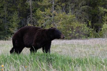 black-bear-1019063_640