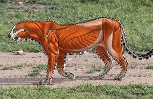 Animal Anatomy - How to Draw Big Cats