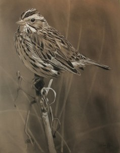 Savannah Sparrow Animal Art Gallery