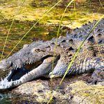 American crocodile snout American Crocodile facts