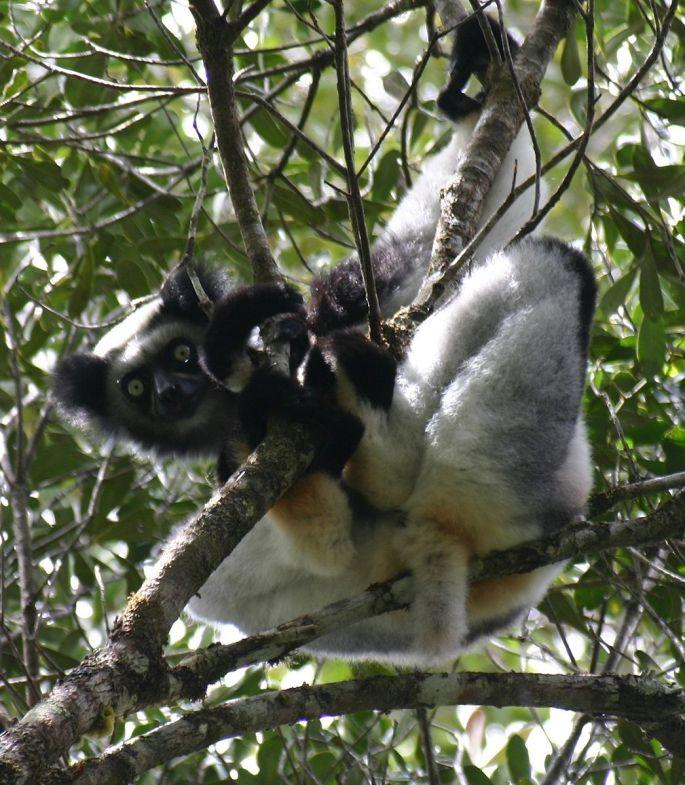 indri lemur madagascar Indri Lemur Facts