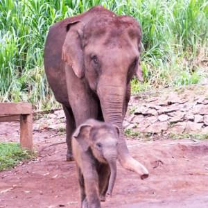 Asain elephant and calf Patara Asian elephant facts