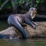 Giant otter on tree