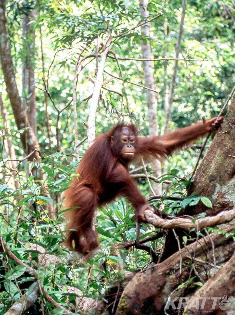 Orangutan Climbing Tree in Indonesia
