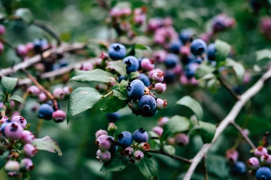 Blueberry Bush Creature Hero Project