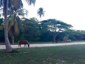 Wild Horses in Vieques, Puerto Rico