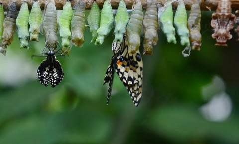 Butterflies Emerging from Crysalis