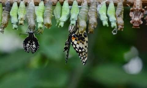 Butterflies Emerging from Crysalis