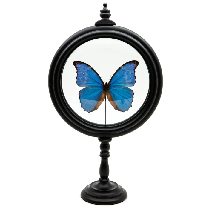 Blue Butterfly in Round Reliquary mounted in France. Turned wood base with double glass.