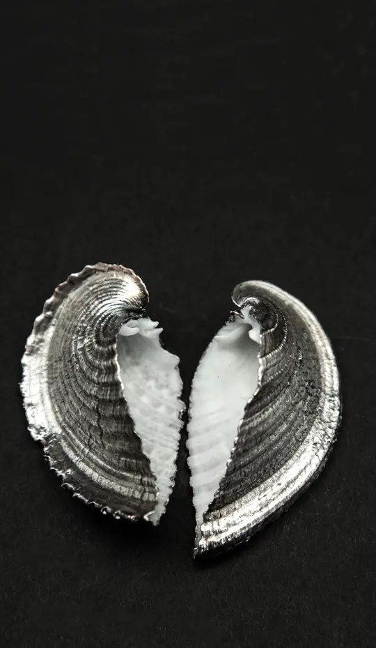 Heart cockle fully silvered